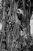 imagette, les troncs vénérables 7